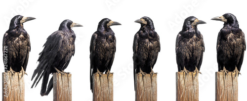 Canvas Print Set of six ravens sit on wooden desk isolated on white, profile face