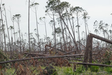 Forest Of Trees Snapped Like Twigs On Gulf Coast In The Aftermath Of Hurricane Michael