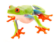 Red Eyed Tree Frog With Big Eyes. A Beautiful Rain Forest Animal From The Jungle Of Costa Rica And Panama Isolated On A White Background.