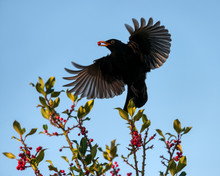 Common Blackbird, Turdus Merul...