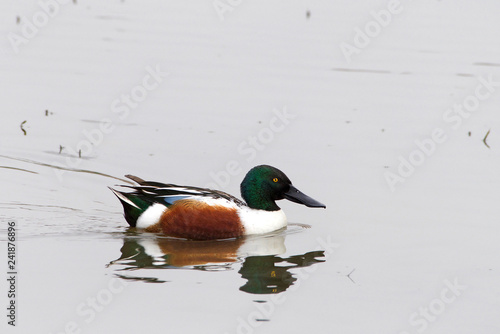 a male Northern Shoveler duck swimming in shallow water. This species is unmistakable in the northern hemisphere due to its large spatulate bill.