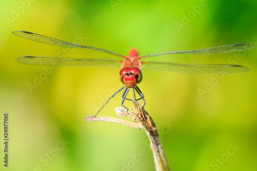 Fotografie, Obraz  Closeup of a male red colored Ruddy darter (Sympetrum sanguineum) resting in sun
