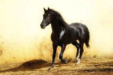 black stallion with long mane