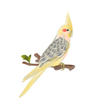 Funny  Parrot Yellow Cockatiel Cute Tropical Bird Watercolor Style On A White Background Vintage Vector Illustration Editable Hand Draw