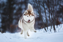 Crazy And Happy Beige And White Dog Breed Siberian Husky Running On The Snow Path In The Forest