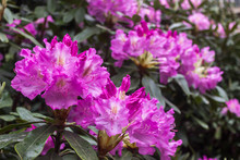 Rhododendron. Bright And Juicy...