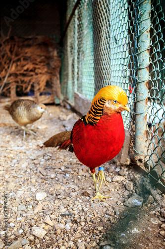 Fotografía  Golden Pheasant (Chrysolophus pictus) or Chinese Pheasant outdoors