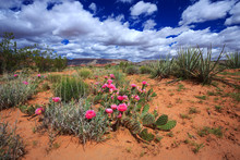 Beautiful Prickly Pear Cactus ...