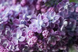 Natural lilac background.