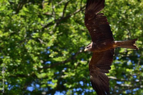 Close up of a black kite (milvus migrans) in flight Canvas Print