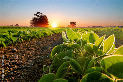 Slika na platnu Soybean field and soy plants in early morning.