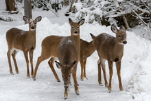 A Herd Of Deer In Winter. There Are Five Deer, With A Snowbank And Snow Covered Trees In The Background.