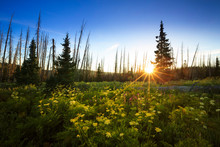 Wildflowers Bloom At Sunrise At Cedar Breaks National Monument, Utah