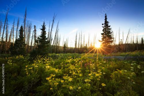 Photo Wildflowers bloom at sunrise at Cedar Breaks National Monument, Utah