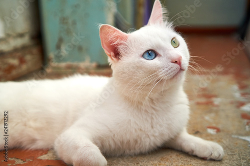 87a14a088b Cat with heterochromia. White cat with different eyes. Odd-eyed ...