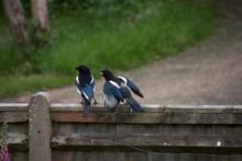 Juvenile Magpie Demanding Food From Parent