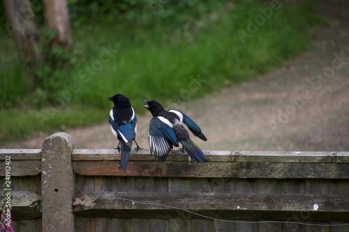 Obraz na plátně Juvenile magpie demanding food from parent