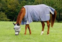 Horse Grazing Wearing A Fly Hood