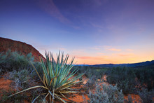 Yucca Cactus In The Red Desert...