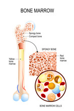 Bone Marrow (Yellow, Red) And Blood Cells