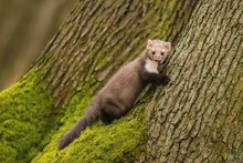 Portrait Of Brown Colored White Breasted Marten, Martes Foina, With Fluffy Fur, Black Eyes And Pink Nose Climbing On Tree Trunk Covered With Green Moss, A Fall Day In A Forest
