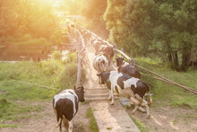 A Herd Of Cows Crossing The River Along The Bridge