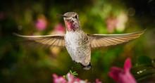 Hummingbird Hovering In Garden