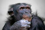 Portret kobiety szympansa - 241924250