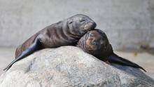 Cute Sea Lions Resting On Rock...