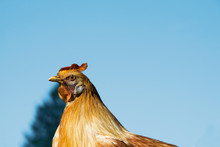 Rooster Profile With A Blue Sky Background