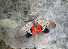 Top View Of Spotted Lantern Fly With Open Wings, Berks County, Pennsylvania