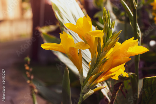 Photo Yellow Canna flower blooming  on long stalk in the garden.