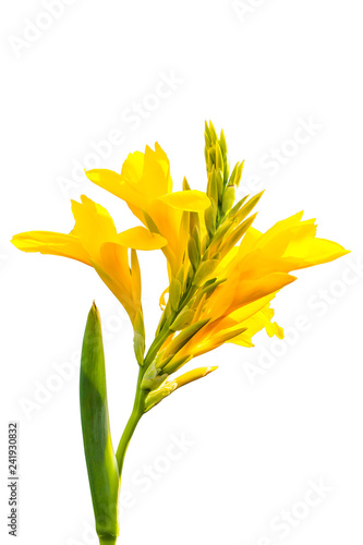 Yellow Canna flower blooming on isolated white background Wallpaper Mural