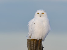 Male Snowy Owl Sitting On Fenc...