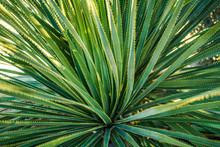 Green Desert Plant With Long Narrow Leaves, Close-up