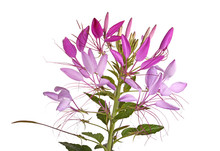 Flower Head Of A Cleome Isolat...