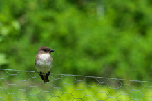 Small Eastern Phoebe Bird On Wire Fence With Large Green Background