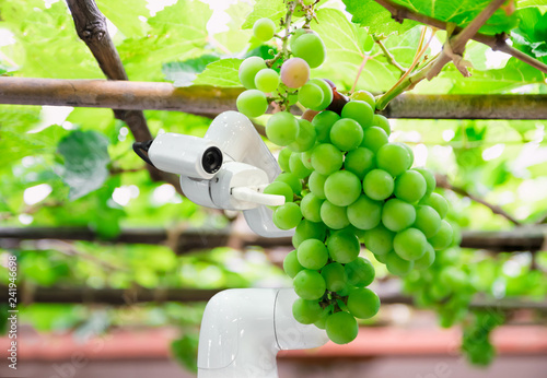 Fototapeta smart robotic farmers grape in agriculture futuristic robot automation to work increase efficiency obraz