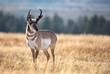 Pronghorn In Grass