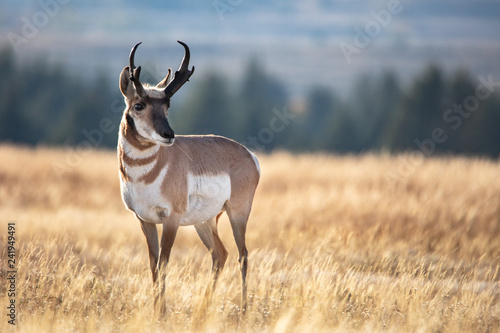 Tuinposter Antilope Pronghorn in grass