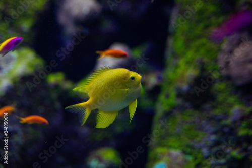 Fotografie, Tablou  Fish color surgeon reflection floating in the aquarium