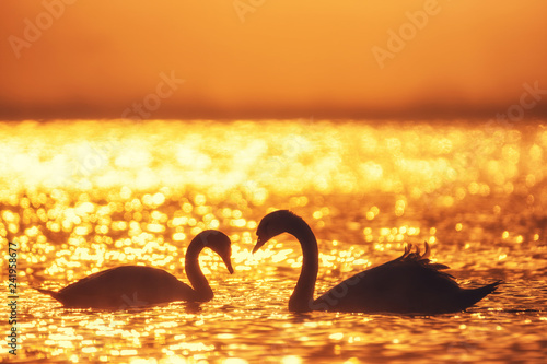Heart shape of white swans in the sea.