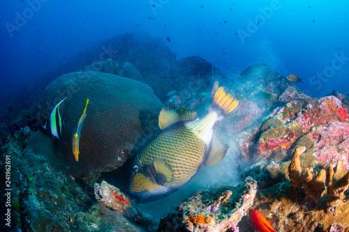 Large Titan Triggerfish feeding on a dark tropical coral reef #241962691