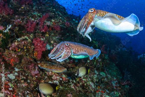Fototapeta Pharaoh Cuttlefish mating and laying eggs on a tropical coral reef obraz na płótnie