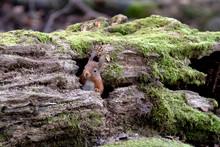 Red Squirrel (Sciurus Vulgaris) Peaking Through Hole In Moss Covered Log