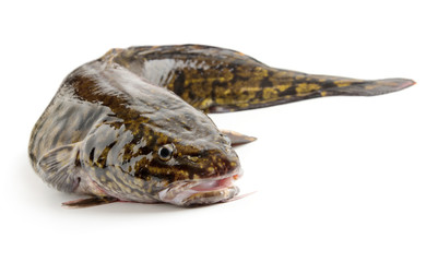 Fresh raw burbot close up, isolated