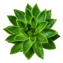 Succulent Plant Echeveria, Top View, Isolated On White Background