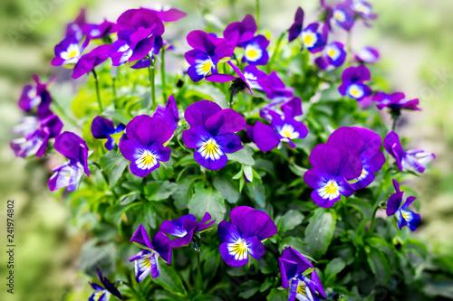 Fotografie, Obraz  Blue violet flowers violets on a green background
