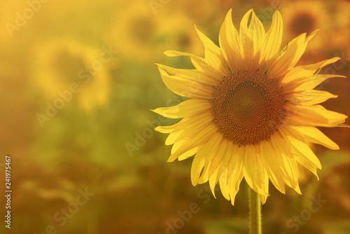 In de dag Zonnebloem big yellow sunflower warm Background reflective light from the sun.