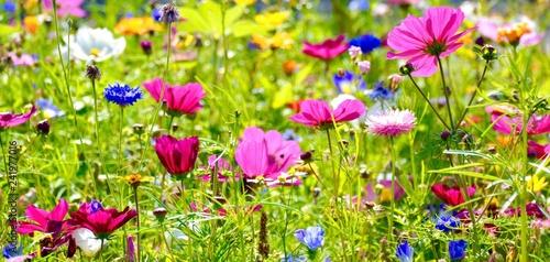 Blumenwiese im Sommer - Hintergrund Panorama - Wildblumen Blumen Wiese